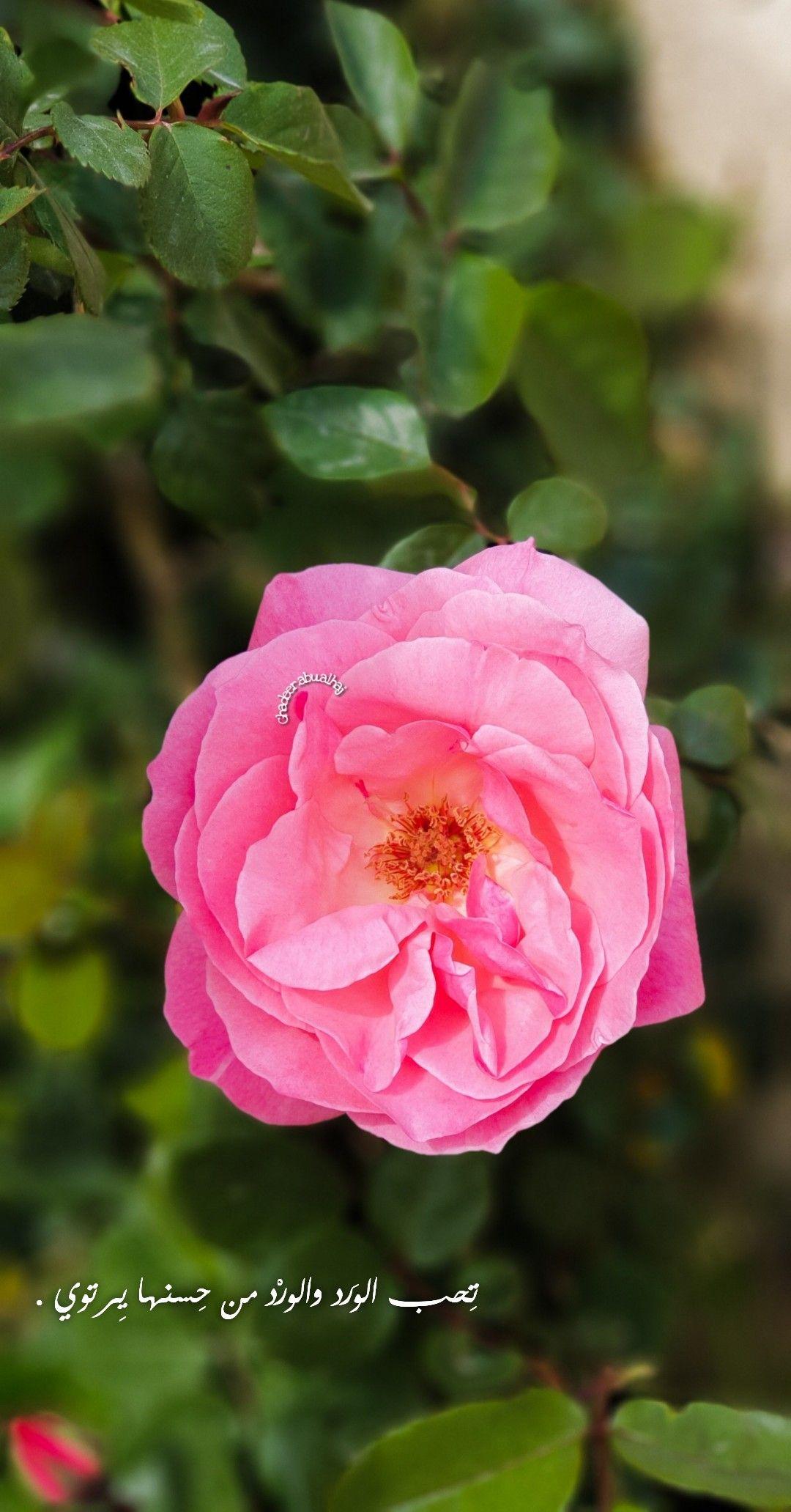 ورد صور صور ورد جمال زهر اقتباسات صور مصورات تصويري Flower Pink Sky Photography Nature Sky Photography Flower Box Gift