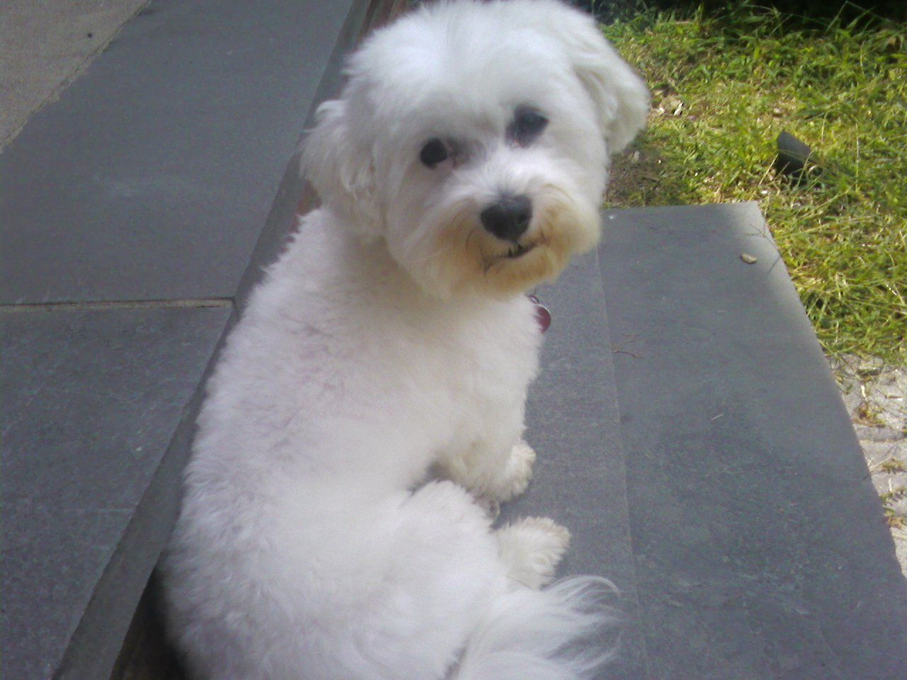 Havanese Can Wear A Topknot Or Small Braids To Keep The Hair Out