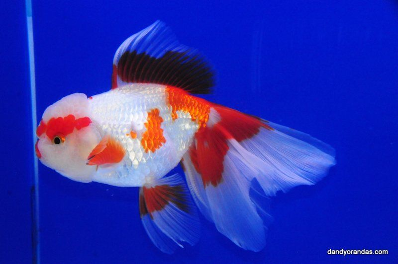 Red White Oranda Dandyorandas Com Goldfish Oranda Goldfish Aquarium Fish