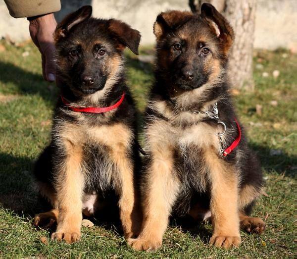 Twins Omg German Shepherd Dogs German Shepherd Shepherd
