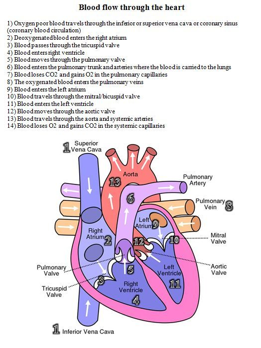 blood flow through the heart diagram and written steps | Nursing School and Education