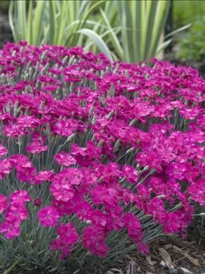 Dragon Fruit Dianthus Perennial Fluffy Looking Fragrant Bright Pink Flowers Are Produced Atop Gry