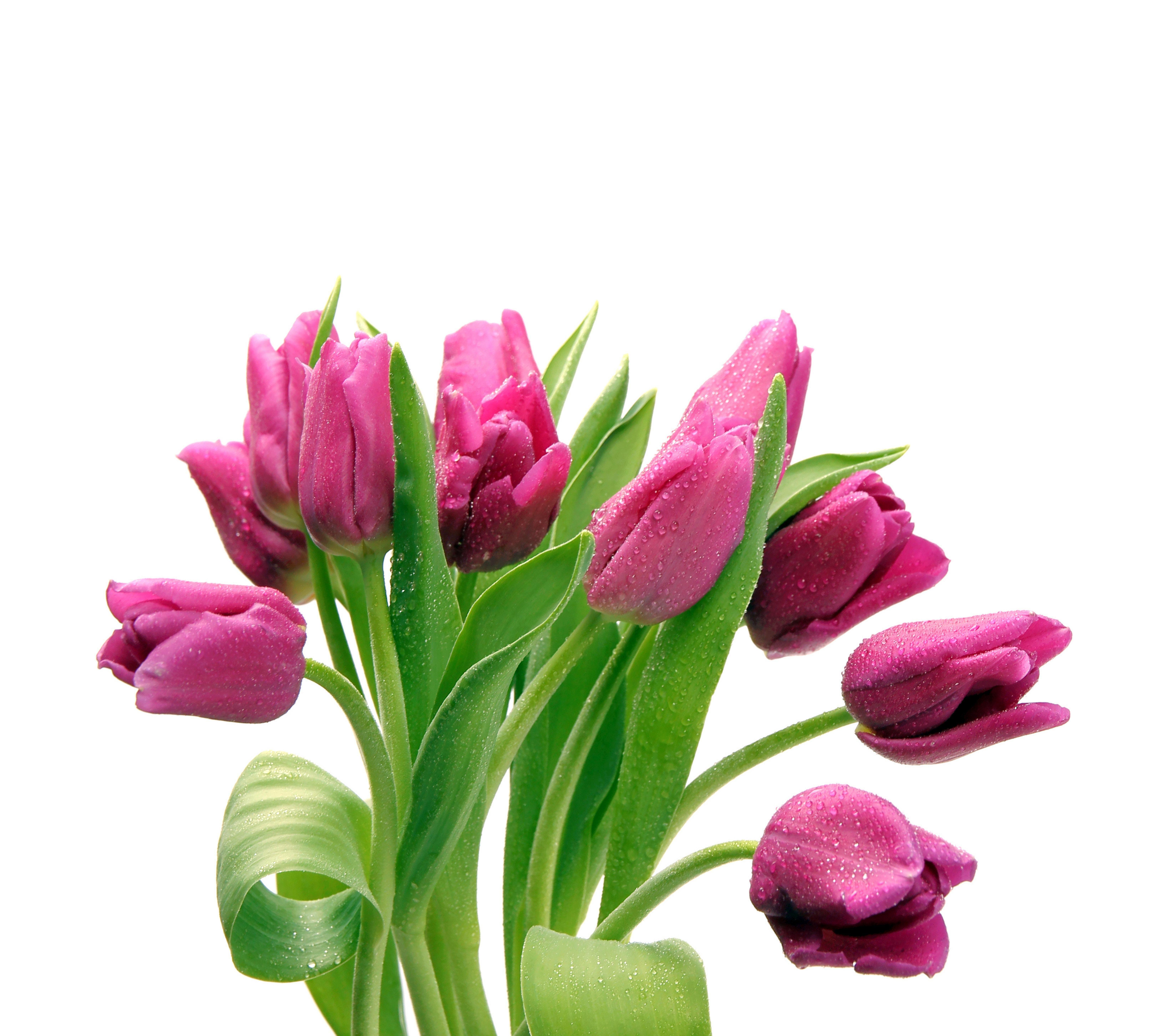 Tulip Wallpaper: Sweet Pink Tulips Wallpaper