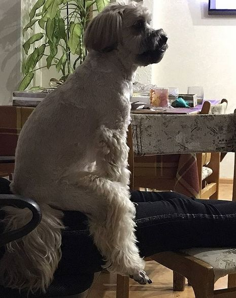 15 Reasons Why You Should Never Own Tibetan Terriers ...