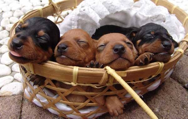 Basket Of Adorable Dachshund Puppies Pets Cute Puppies