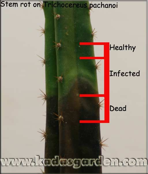cacti pests and problems