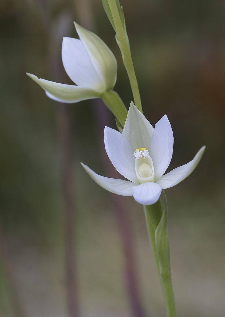 Great-Sun-Orchid: Thelymitra aristata - Flickr - Photo Sharing!