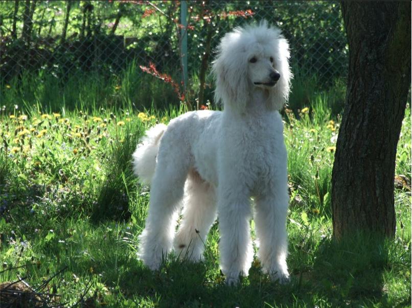 Beautiful white standard poodle