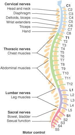 The spine is made of 33 individual bones stacked one on top of the other. This spinal column provide