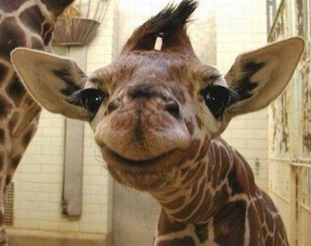 Cute Baby Giraffe Lachende Tiere Tiere Gluckliche Tiere