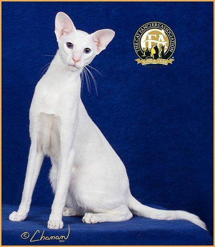 25th Best Cat In Premiership Gp Nw Kat Attack S Yakety Yak Of Gr8katz Blue Eyed White Shorthair Oriental Shorthair Cats Cats Illustration Oriental Cat Breeds