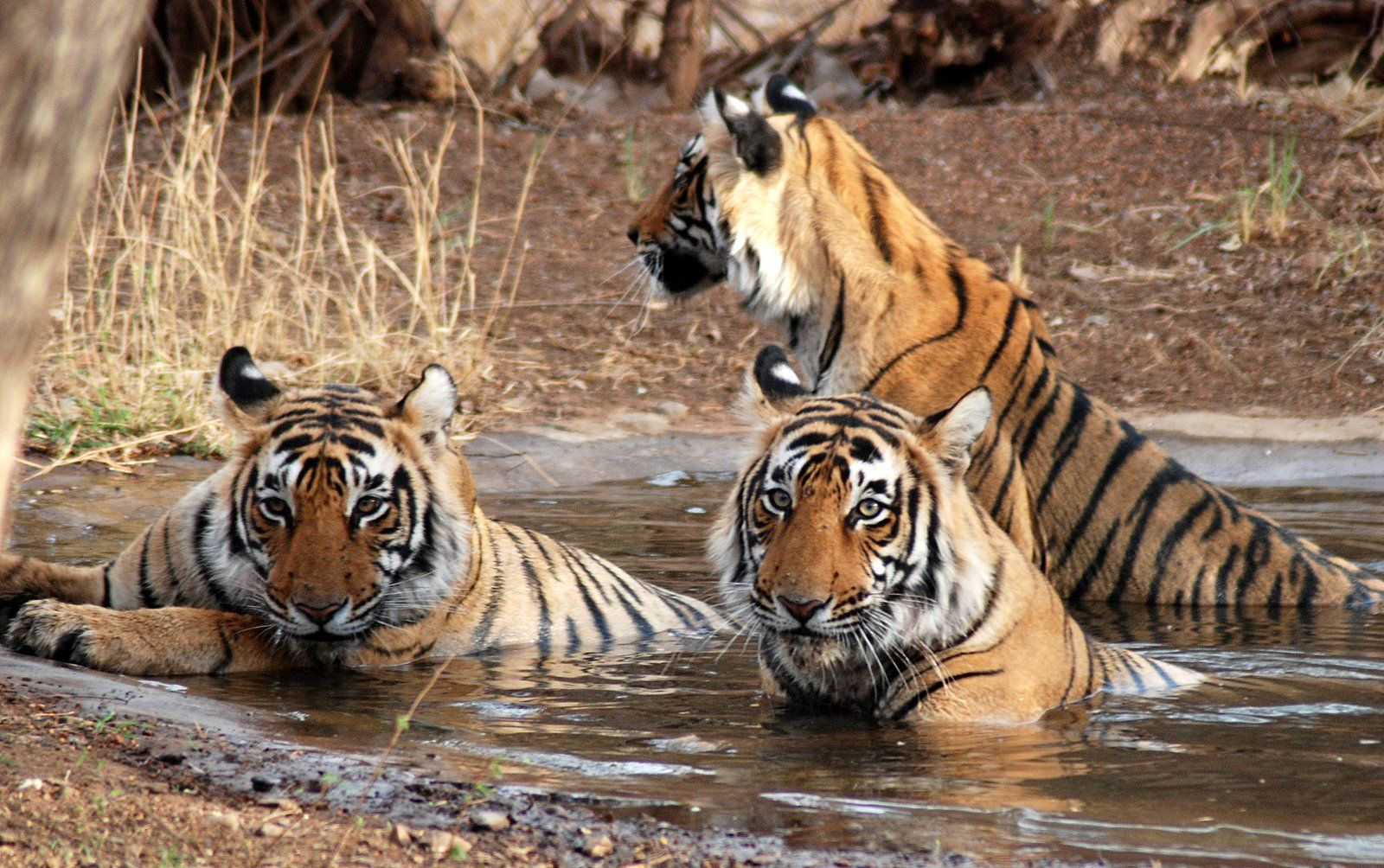 Frolicking tigers in the Jim Corbett National Park