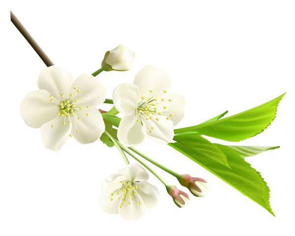 Spring Branch with White Tree Flowers PNG Clipart ...