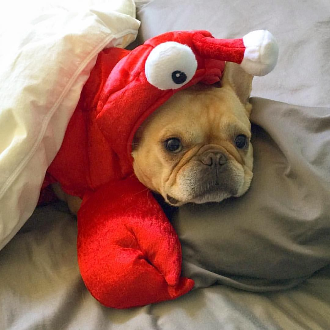 French Bulldog In Lobster Costume Animal Planet Cuddly Animals