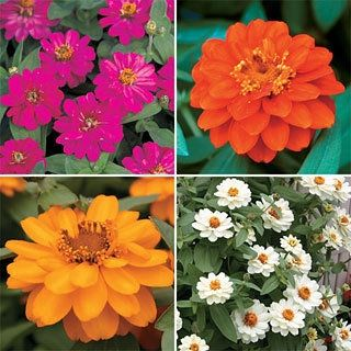 Zinnia Profusion Double Mix in The Big Seed Book from Park Seed on shop.CatalogSpree.com, my personal digital mall.