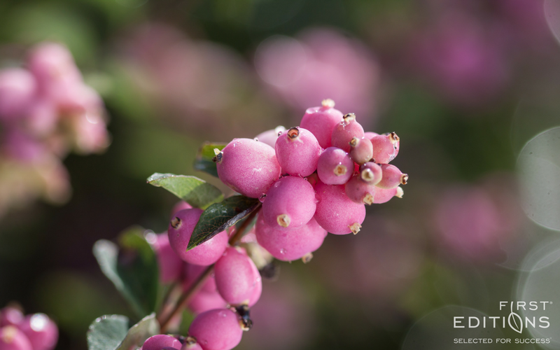 Candy Coralberry Is Great For Anyone Who Is Looking For A Shrub