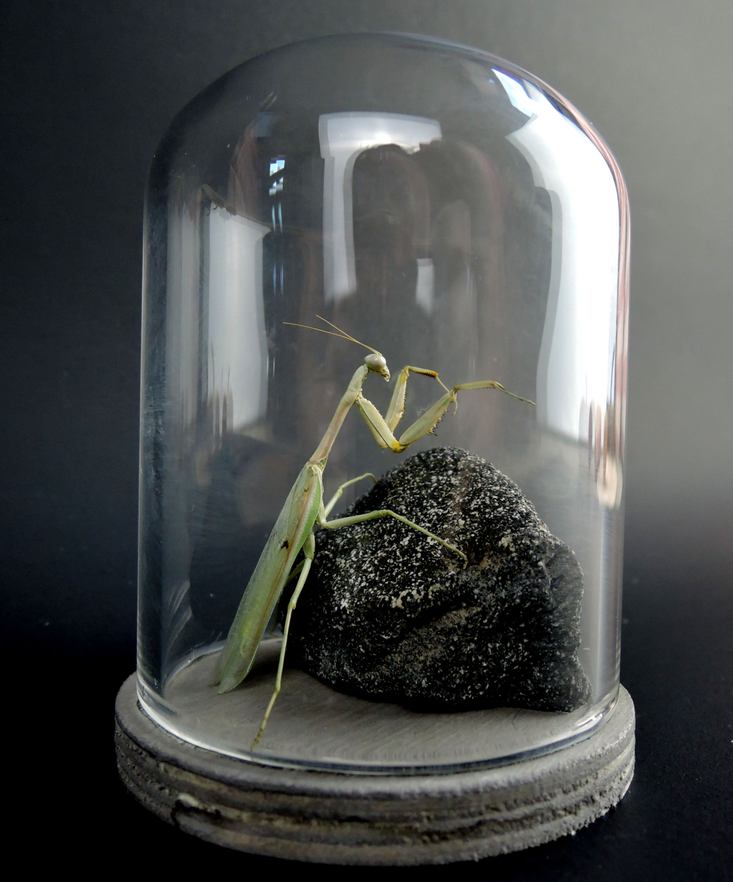 Curiosities And Oddities By Mini Masterpieces Az Praying Mantis Taxidermy Under Glass Dome Made In Tucson Az Naturalist Decor Orchid Mantis Glass Domes