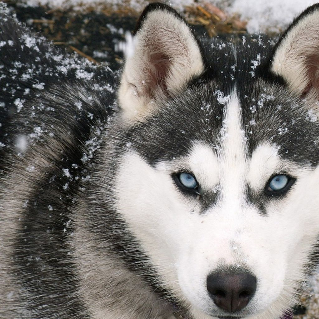 Wolf with blue eyes