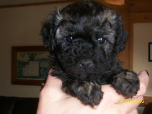 Dogs Puppies For Sale In Northeast Ohio Ebay Classifieds Kijiji Page 1 Havapoo Puppies Puppies Dogs