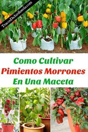 Como Cultivar Pimientos Morrones En Una Maceta Jardín De Vegetales Jardinería En Macetas Cultivo De árboles Frutales