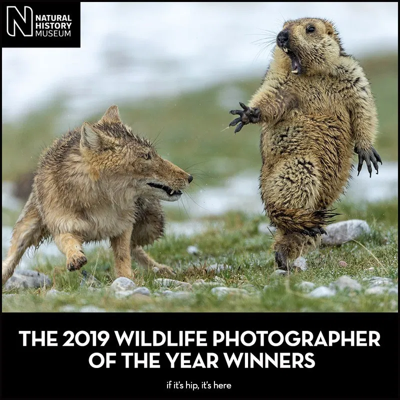 2019 Wildlife Photographer Of The Year Winners If It S Hip It S Here Tibetan Fox Wildlife Photography Wildlife