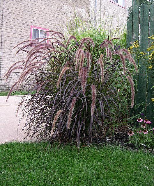 Purple Fountain Grass Ideas For The House Fountain