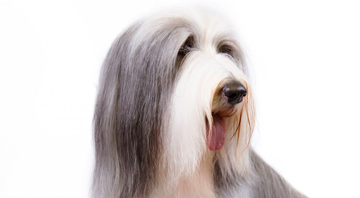 Bearded Collie Dog Breed Information Bearded Collie Bearded