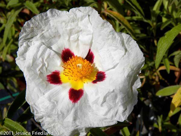 Cistus x purpureus Alan Fradd