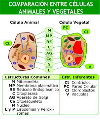 Resultado De Imagen Para Cuadro Comparativo Entre Celula Animal Y