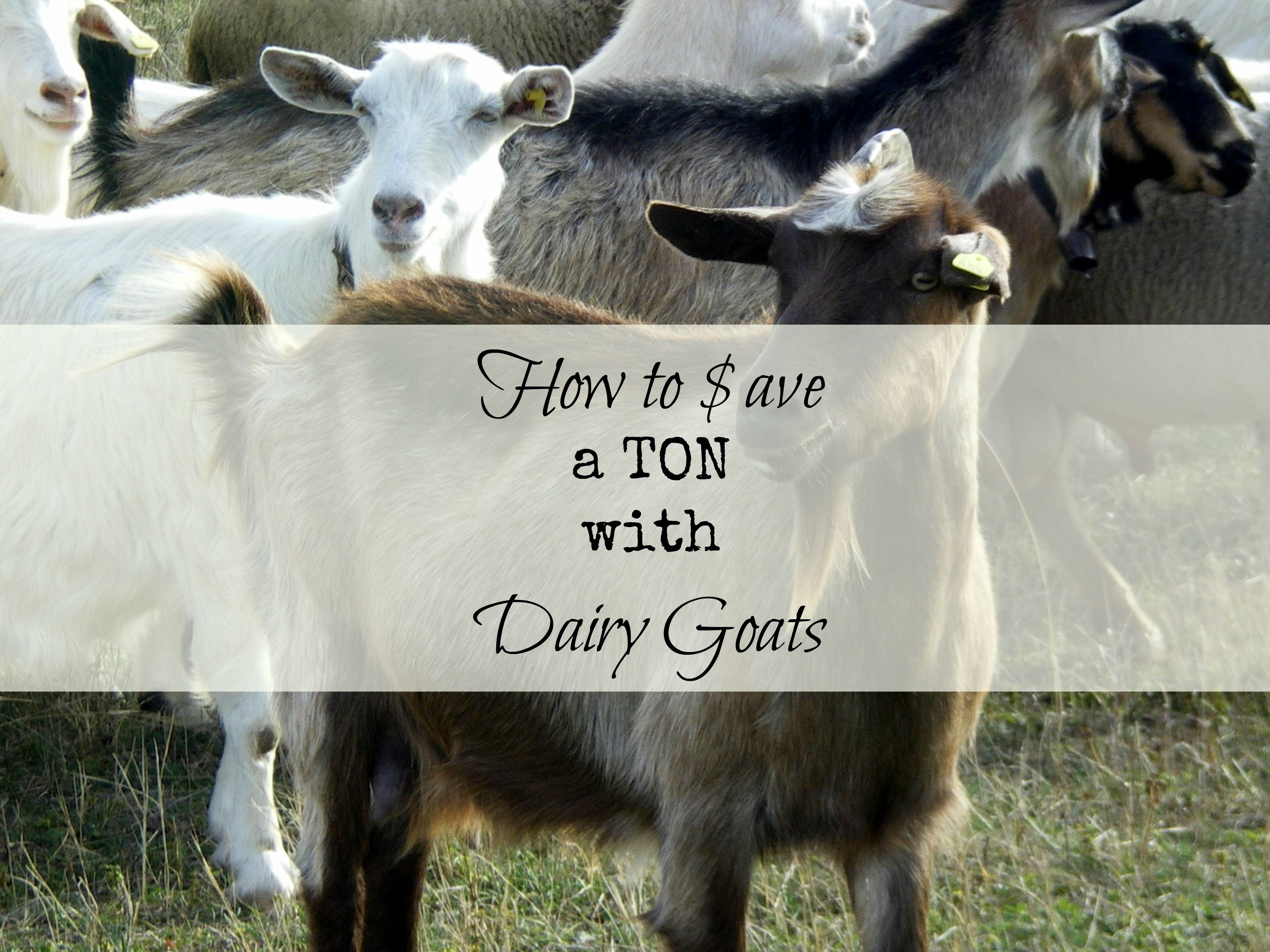 The Dairy Goat: How to Save a TON of Money + Recipe ...