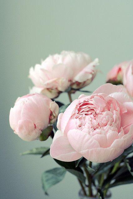 Pink peonies everything pink pinterest beautiful flowers paeonias by elena kovyrzina mightylinksfo