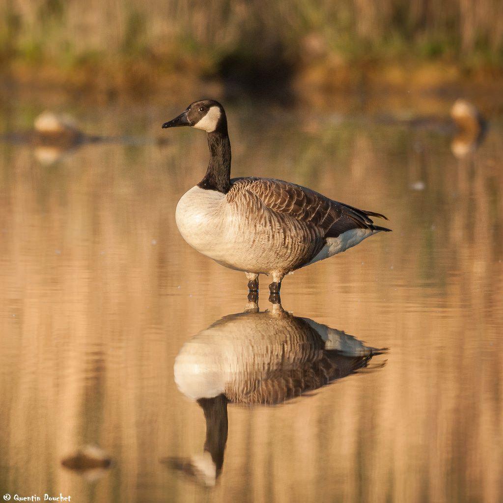 canada goose ile de france