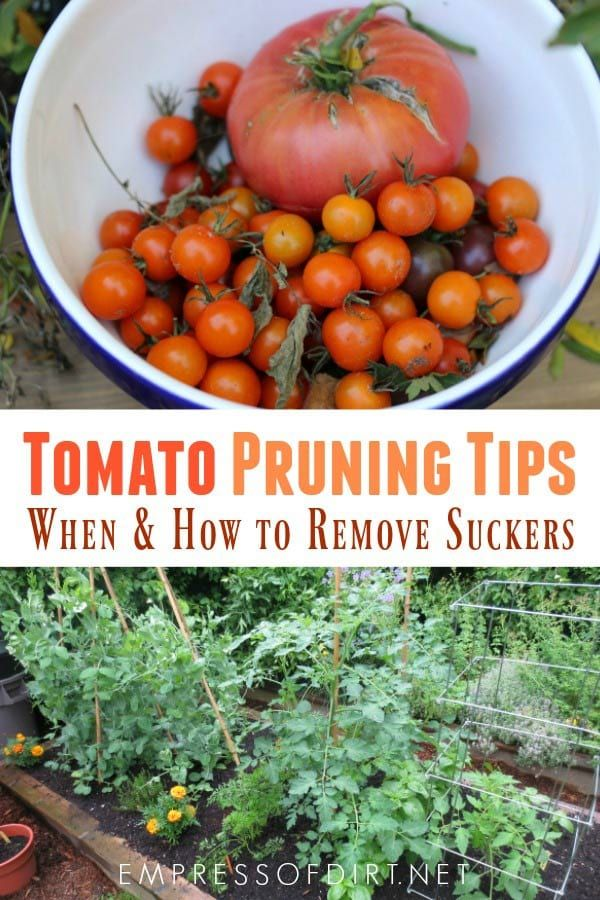 How to Prune Tomatoes and Grow New Plants from Cuttings Click here to learn how to properly prune your tomato plants and remove suckers as needed for healthy, fruiting plants.