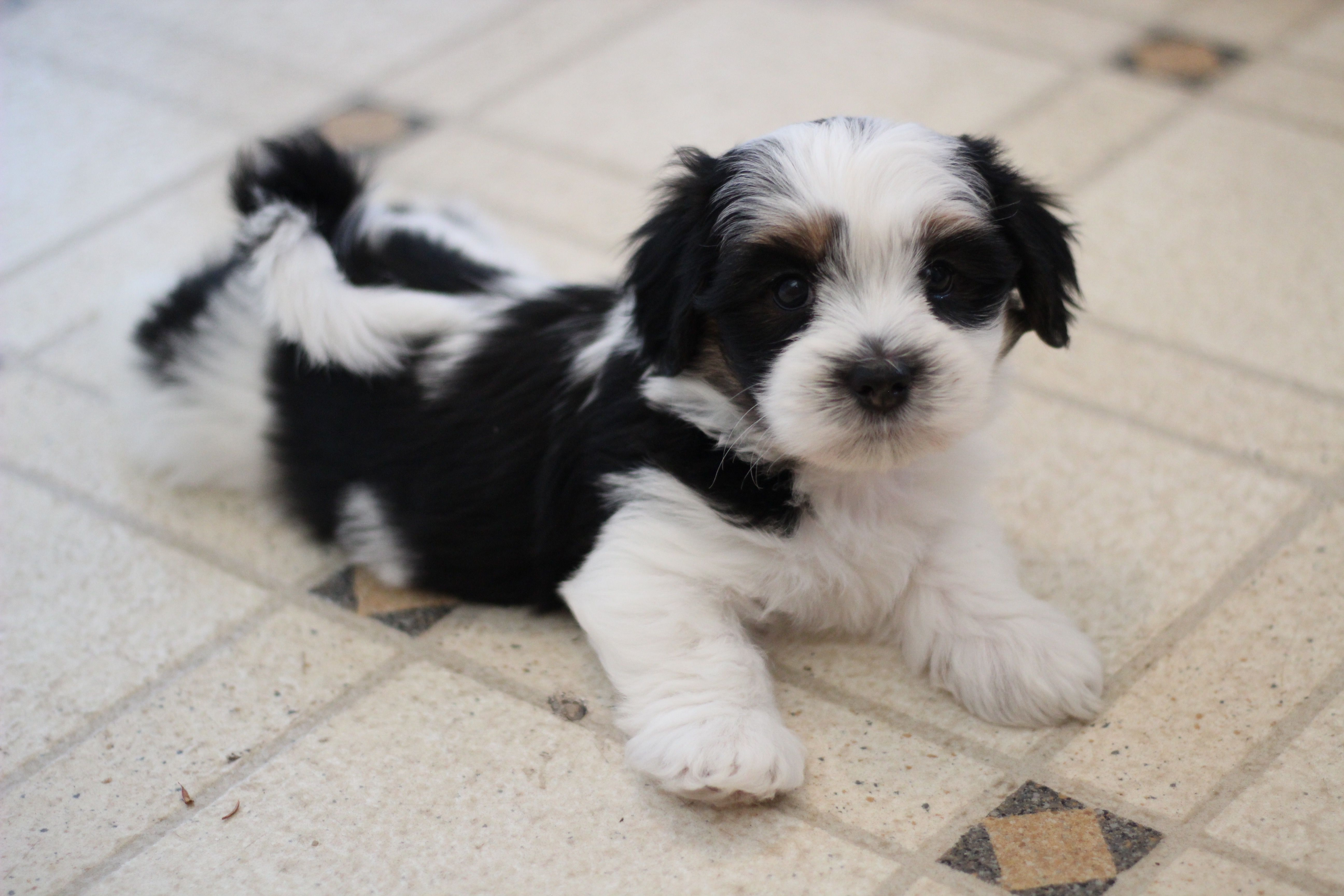 Love This Cutie Www Babybarks Ca Shih Tzu Puppy Zuchon Puppies