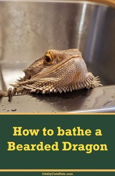 Learn how to bathe your bearded dragon. We include several tips and tricks to help you with this process.  #oddlycutepets #beardeddragons #reptiles