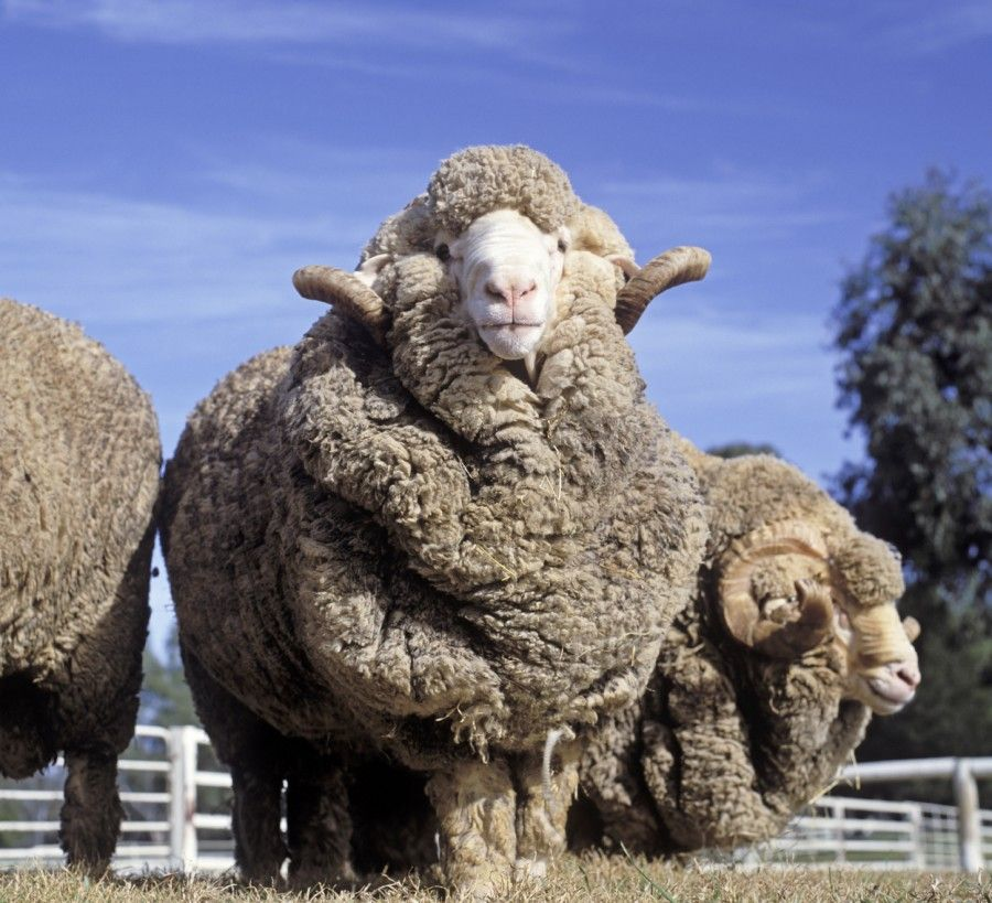 Raising Sheep For Wool All You Need To Know Animals Merino Sheep Sheep