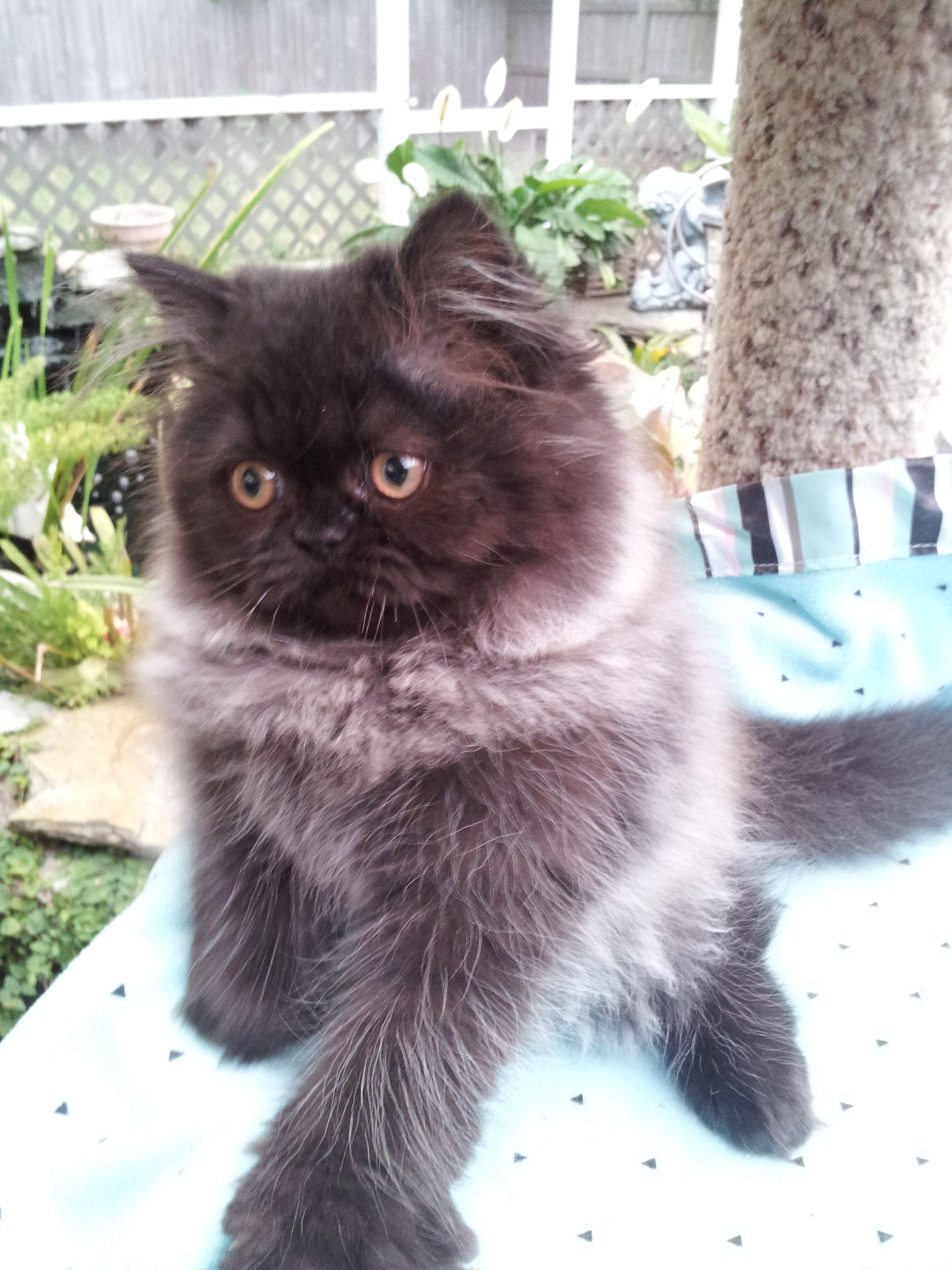 Black Smoke Persian Kittens Persian Cat Persian Kittens Cats