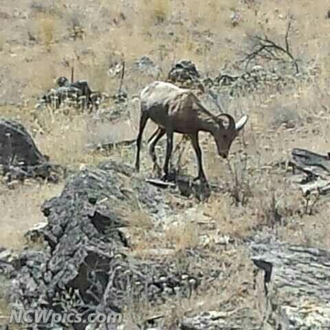#BighornSheep #US97A #Wenatchee #RockyReachDam #animals #wildlife #NorthCentralWashington #NCWlove #NorthwestIsBest #PNWlove #ScenicWA #ncwpics