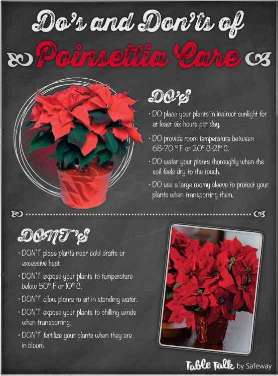 The Do S Don Ts Of Poinsettia Care Poinsettia Care Christmas Plants Christmas Plants Poinsettia