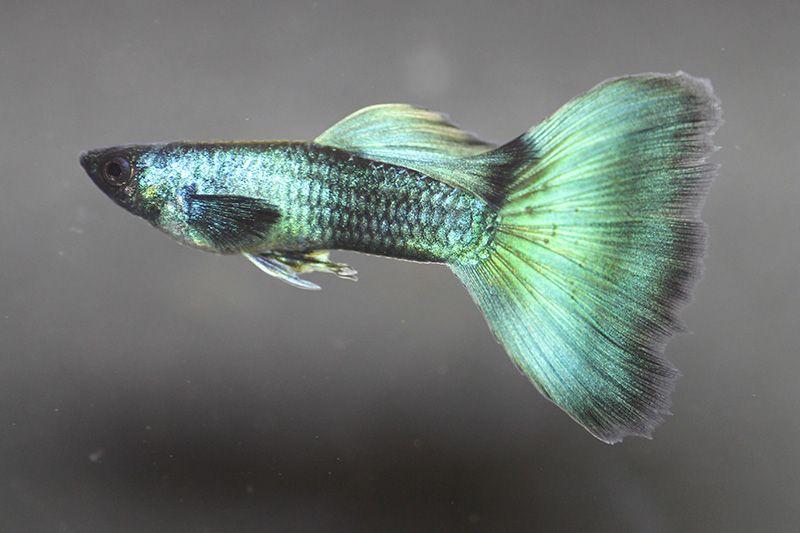 Guppy Hobby Hermann Ernst Magoschitz Guppy Fisch