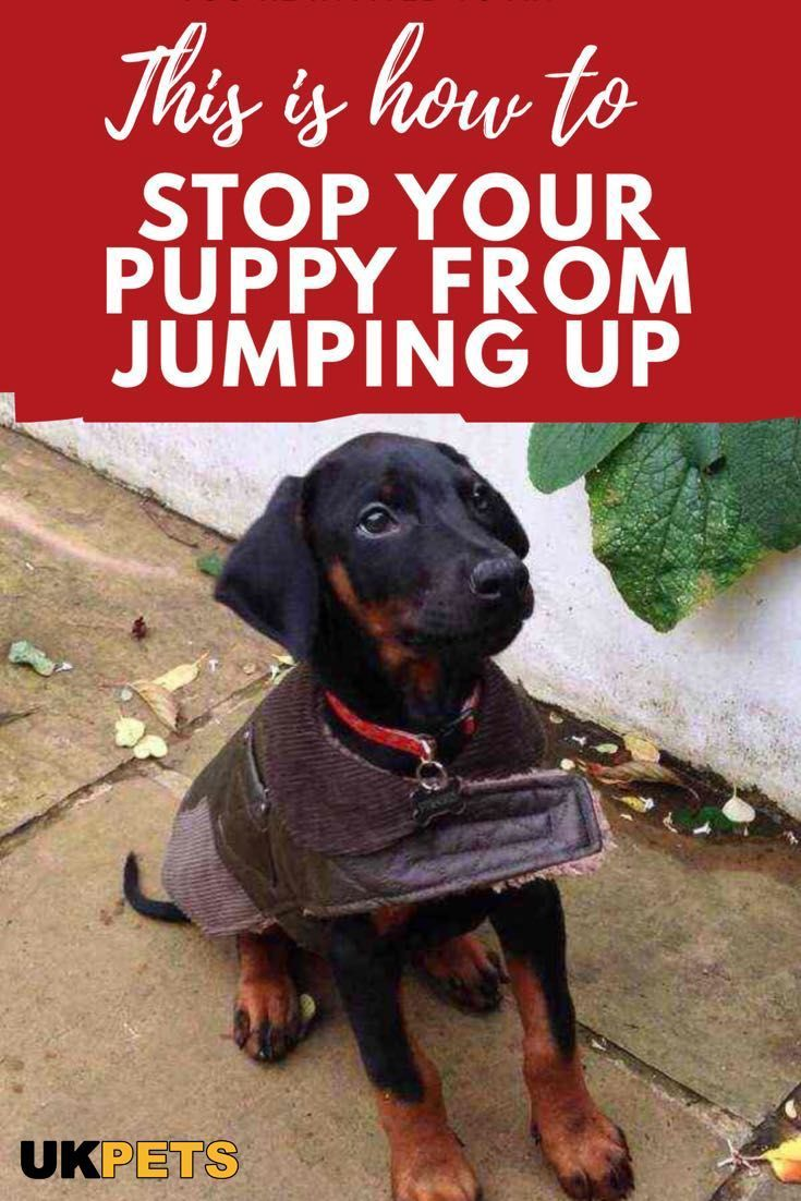 Want To Teach Your Puppy Not To Jump Up At People Learn These