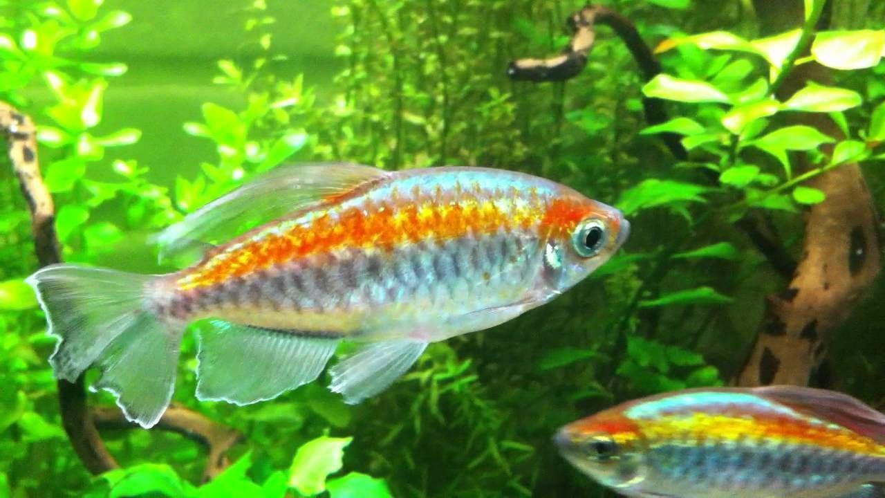 Long Fin Congo Tetras Tropical Fish Aquarium Fish Fish Tank