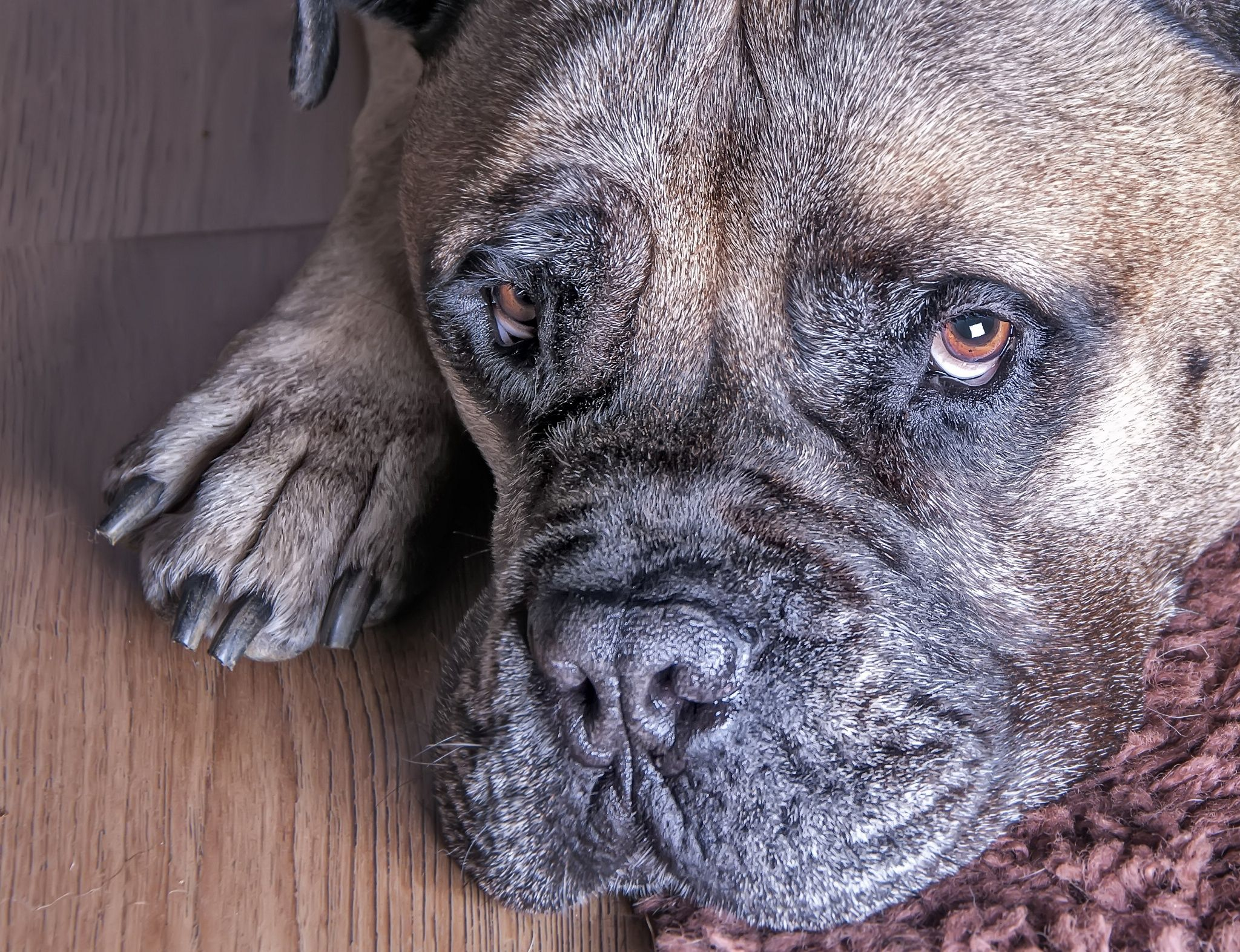 Modern Dead Bullmastiff Dog Looking Up As If To Ask Do You Bullmastiff Dog Looking Up As If To Ask Do You Want Dogs Can T Look Up Quote Can Dogs Look Up Shaun bark post Can Dogs Look Up