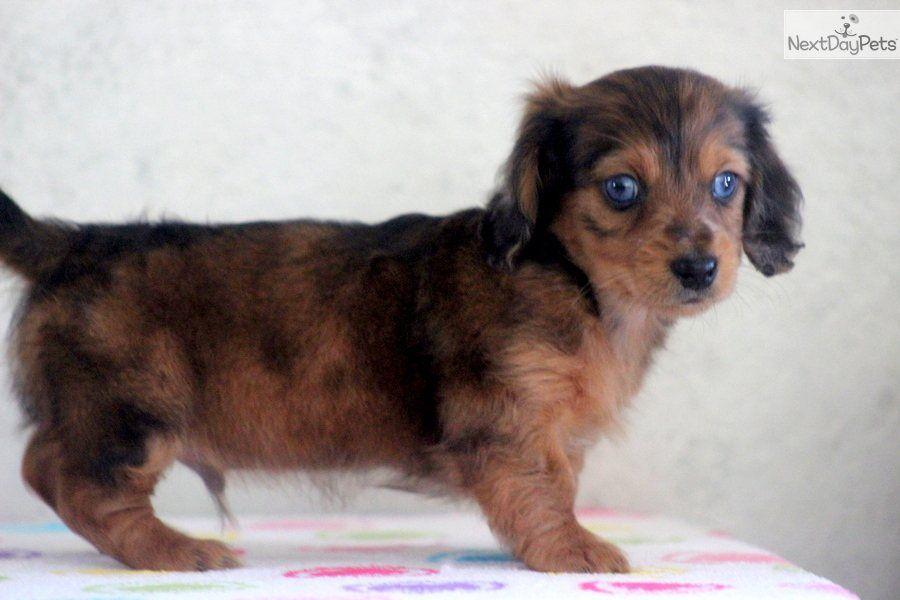 Free Miniature Dachshund Puppies Dachshund Mini Puppy For