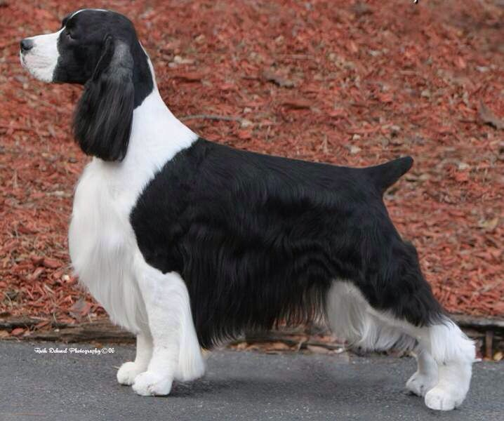 Buck Grooming On Pinterest English Springer Spaniels Spaniels