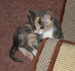 Picture Of Angelina A Domestic Short Hair Dilute Calico Cat