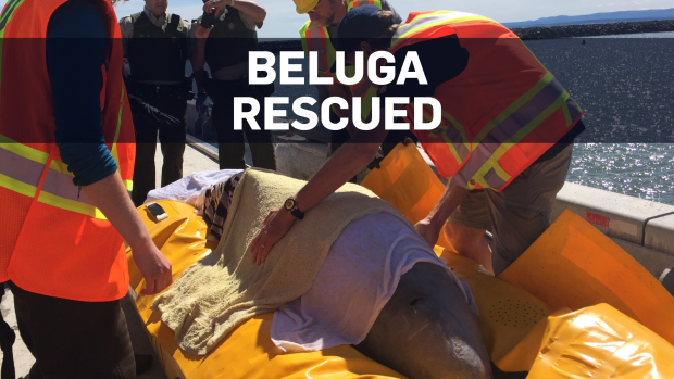 Tracking signals indicate rescued beluga is approaching