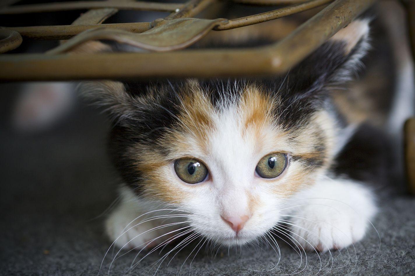 Weekly Kitten Development Timeline Hill S Pet Cat Neutering Pet Kitten Calico Kitten