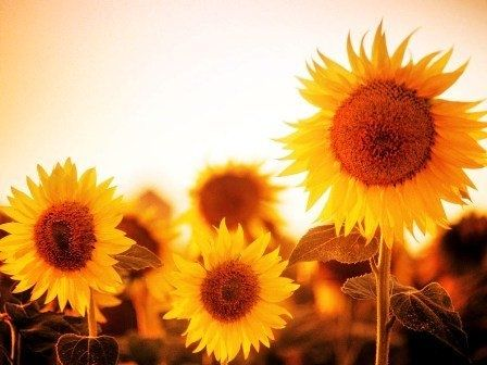 Sunflowers also i just got a Starbucks gift card from Pinterest, check it out http://pinterestgiftcards.tk oo happy day :)