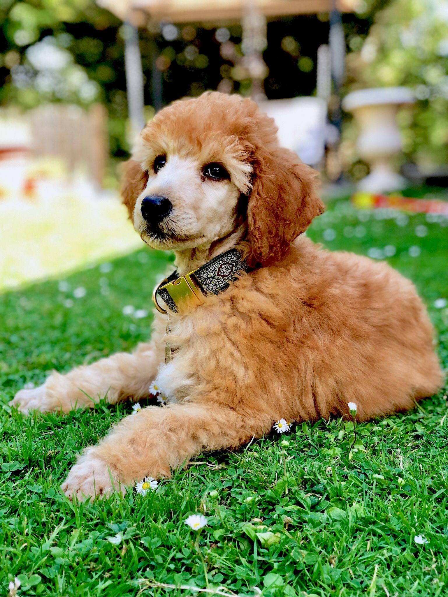 9 Week Old Apricot Standard Poodle Puppy Argentcymru Orsino